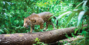 Fauna: Reserva de Tariquía