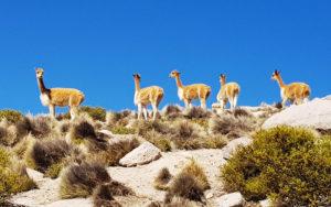 Fauna: Área Natural de Apolobamba