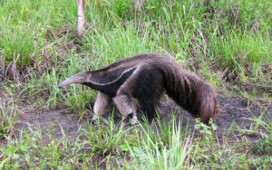 Fauna: Parque Nacional Aguaragüe